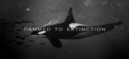 Dammed to Extinction. Orca chasing salmon.