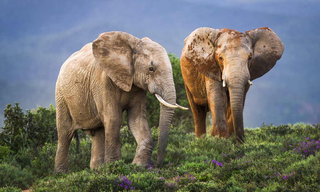 Close-up of two elephants on green hill in Africa.