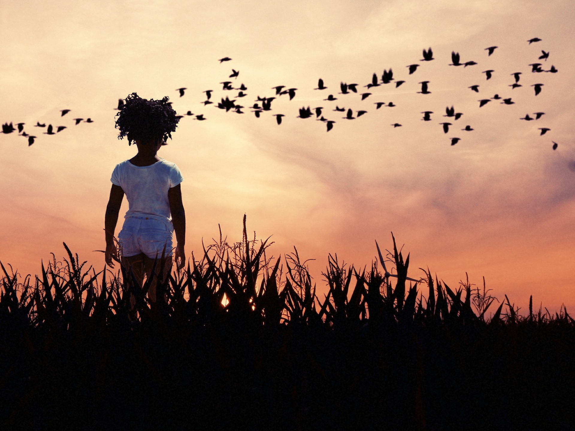 Summer sunset through short corn. Young girl watches a murder of crows stream through.