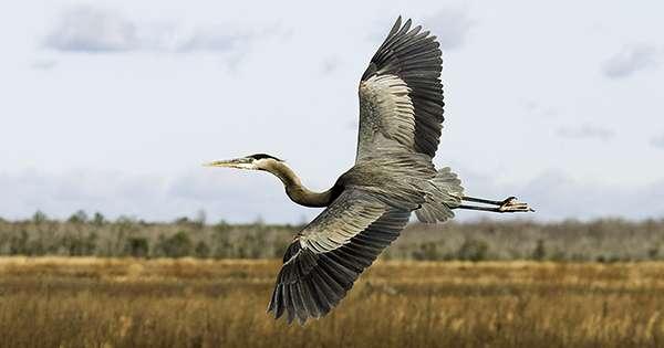 Heron over a wetland.