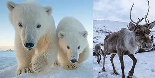 Wildlife camera shots of Polar bears and Caribou.