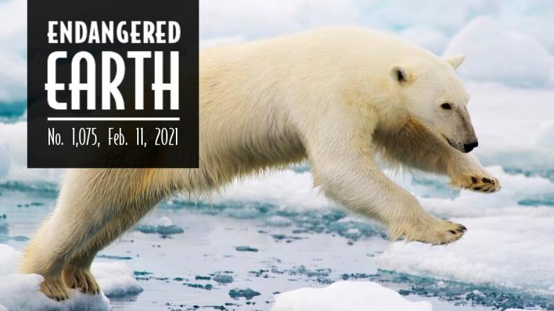 Endangered Earth February 2021. Polar Bear leaping between ice floats.