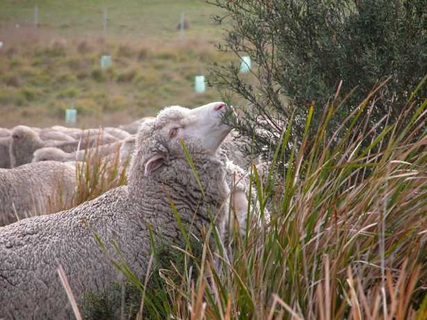 A sheep grazing on a small bush.