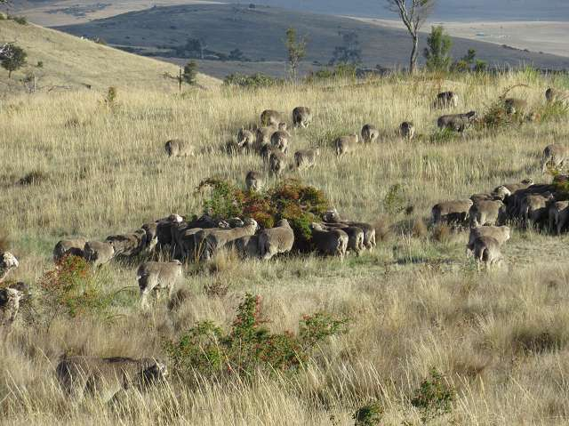 Sheep grazing in a hilly, brownish pasture.