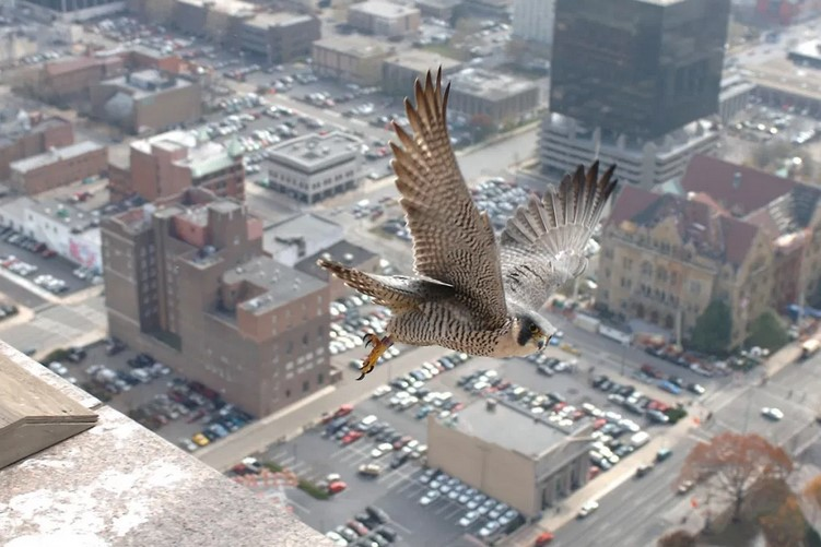 Closeup of Falcon flying over city scene