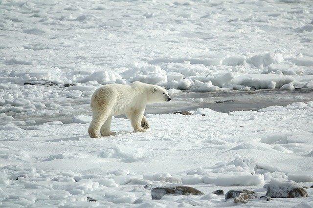 A Polar Bear eyeing seals on the ice flows.