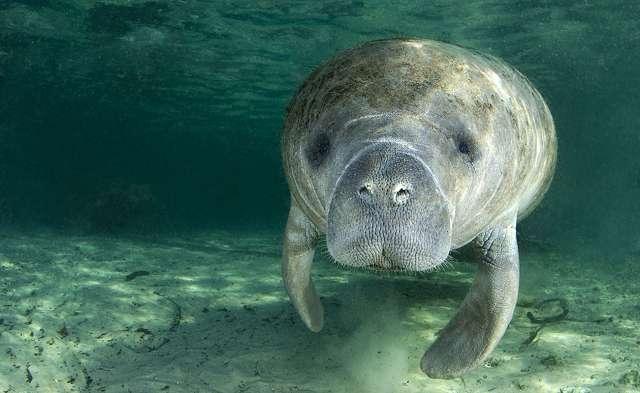 A Manatee swimming toward you, underwater.