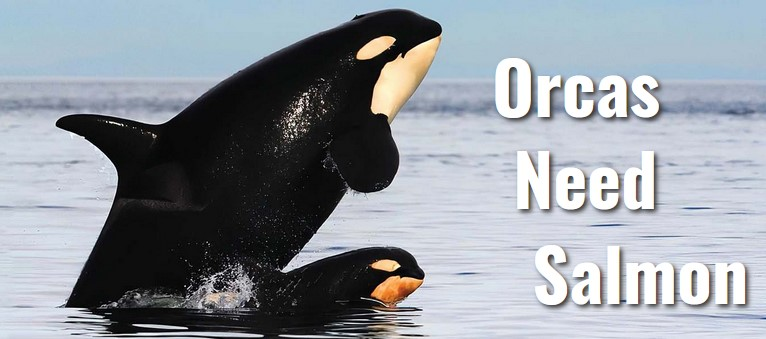 Orcas Need Salmon. Mother and baby Orcas.