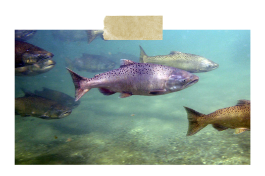 Side view of a bind of salmon swimming.