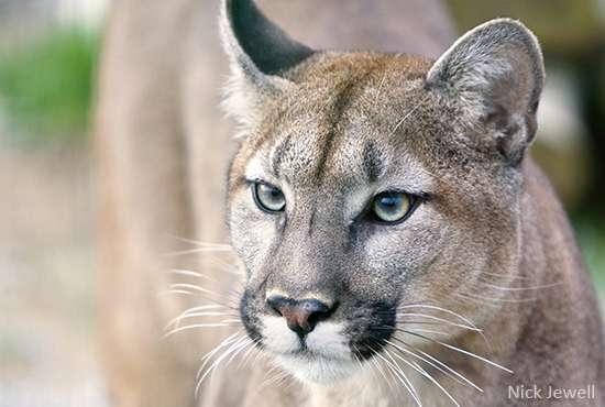 Close-up of Florida Panther.