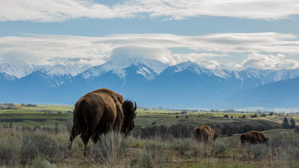 Buffalo on plain before snow-capped Montana Mountains.