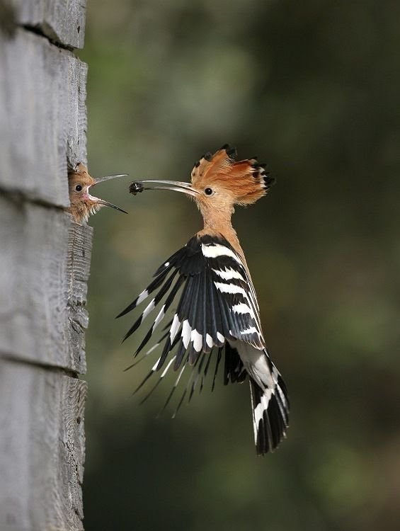 Woodpecker feeding young on the wing.