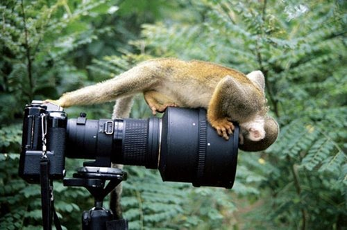 Monkey looking down the lens of a camera.