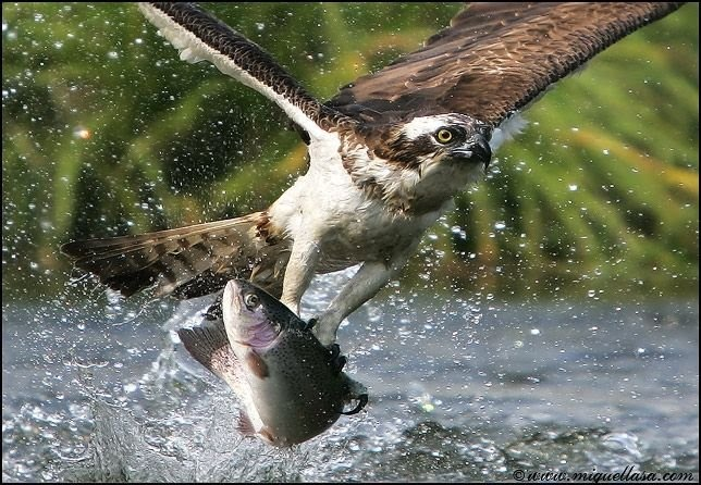 Raptor plucking a trout from the water.