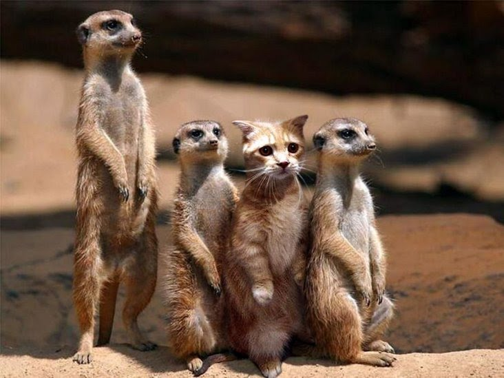 Meercats with a tabby in the sitting line.