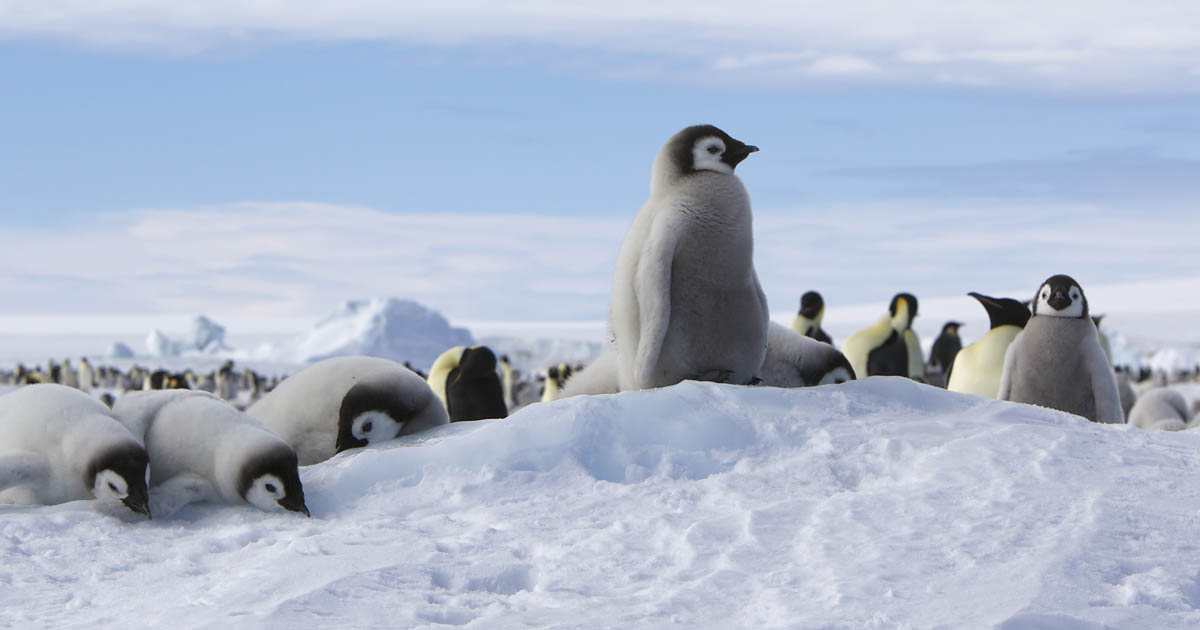 Emperor penguin chicks on the ice.