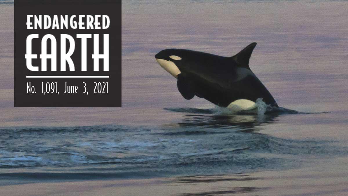 Endangered Earth June 2021. Orca breaching.