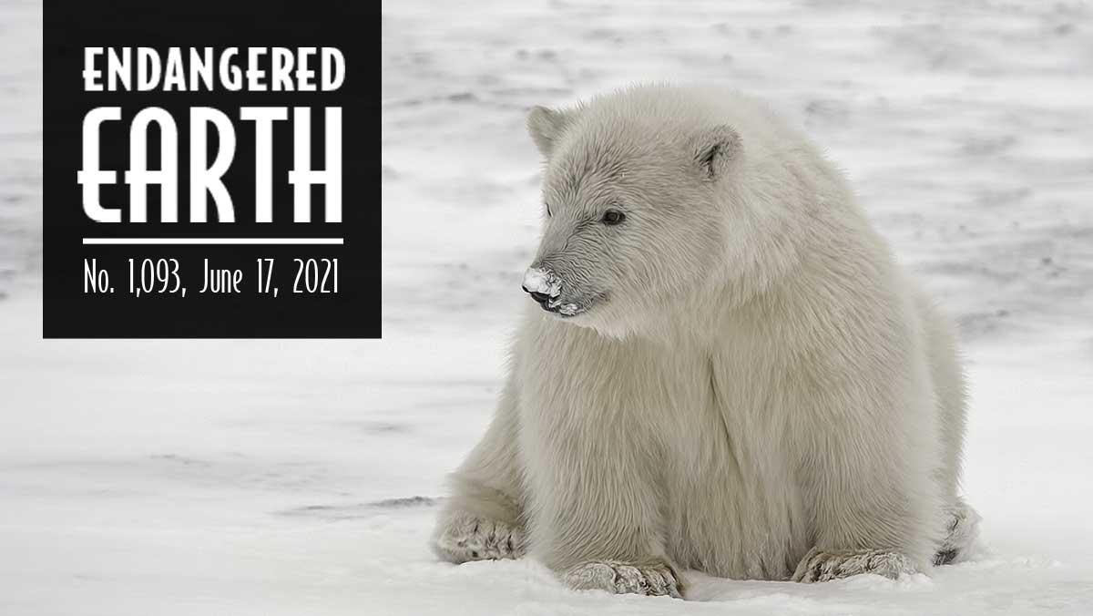 A new Polar Bear faces the snow.