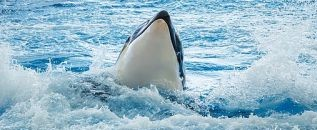 Orca breaching.