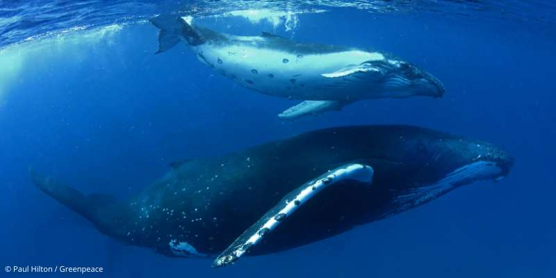 Child above Mother whale, near the surface.