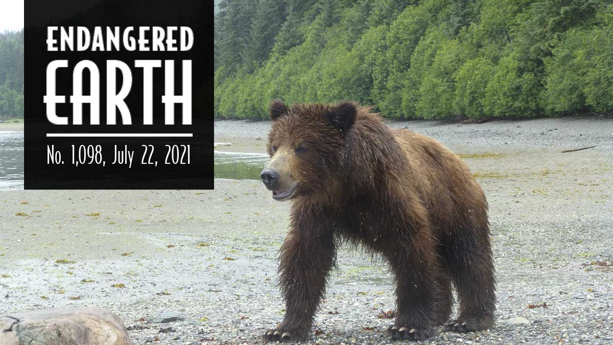 Grizzly Bear in Tongass National Forest.