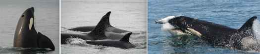 Three photos of Southern Resident Orcas