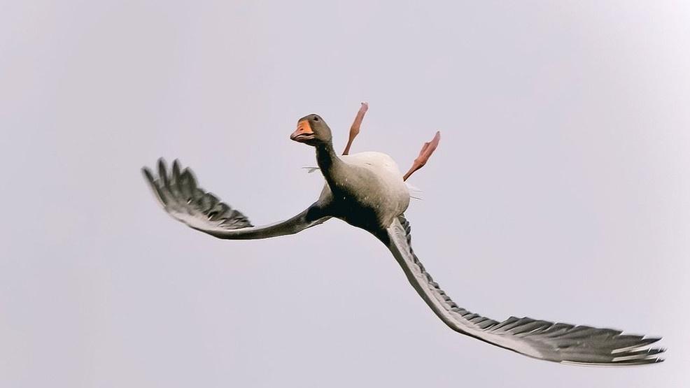 A dark gray-brown Bean goose flying upside down