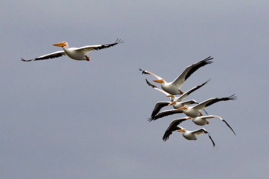 A squadron of White Pelicans
