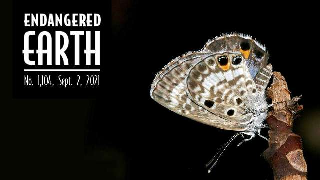 Miami Blue Butterfly - Endangered Earth