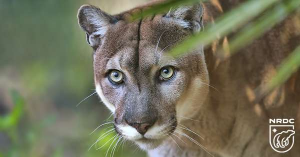 A florida panther walking through palmetto trees in Charlotte County, Florida.